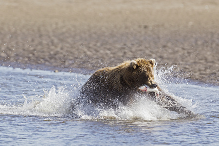 Usa,Alaska,Brown Bear With Caught Salmon In Silver Salmon Creek At Lake Clark National Park And Preserve LANG_EVOIMAGES