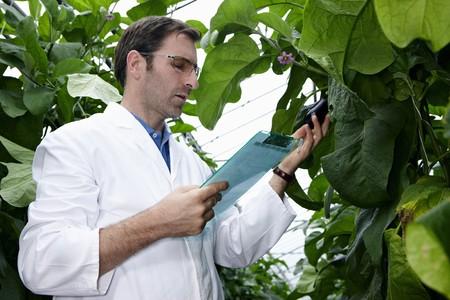 indoor shot: Germany,Bavaria,Munich,Scientist In Greenhouse Examining Aubergine Plants