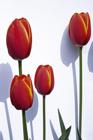 Tulipa Gesneriana LANG_EVOIMAGES