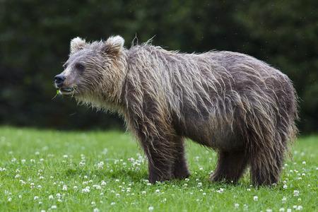 Usa,Alaska,Young Brown Bear At Lake Clark National Park And Preserve