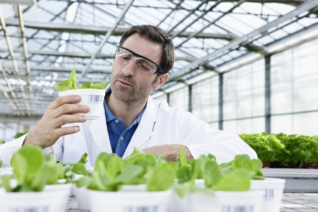 Germany,Bavaria,Munich,Scientist In Greenhouse Examining Corn Salad Plants LANG_EVOIMAGES