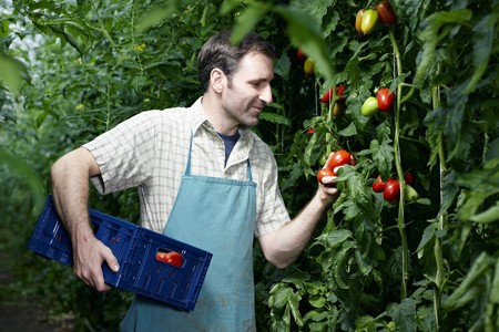 Germany,Bavaria,Munich,Mature Man Harvesting Tomatoes In Greenhouse LANG_EVOIMAGES
