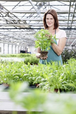 Germany,Bavaria,Munich,Mature Woman In Greenhouse With Basil Plants