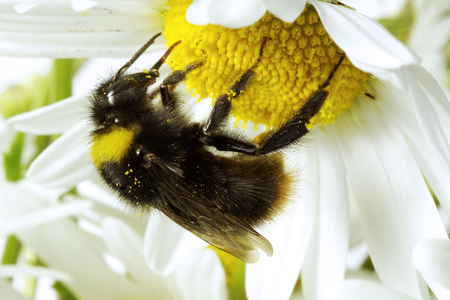 Bumble-Bee Bombus LANG_EVOIMAGES