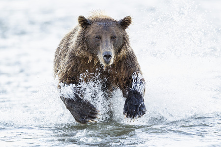 Usa,Alaska,Brown Bear Is Trying To Catch Salmon In Silver Salmon Creek At Lake Clark National Park And Preserve LANG_EVOIMAGES