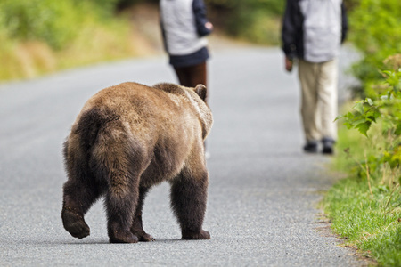Usa,Alaska,Brown Bear Chasing Tourist LANG_EVOIMAGES