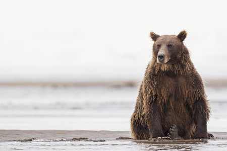 edge: Usa,Alaska,Brown Bear In Silver Salmon Creek At Lake Clark National Park And Preserve