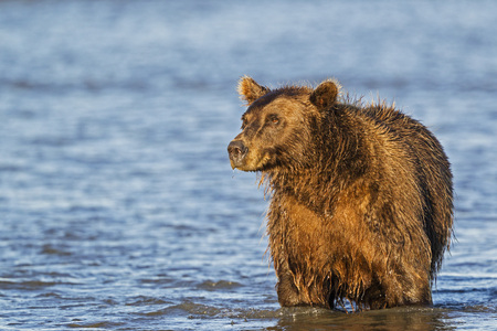 wildlife preserve: Usa,Alaska,Brown Bear Watching For Salmons In Silver Salmon Creek At Lake Clark National Park And Preserve LANG_EVOIMAGES