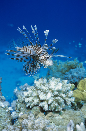 deepness: Common Lionfish, Pterois Volitans