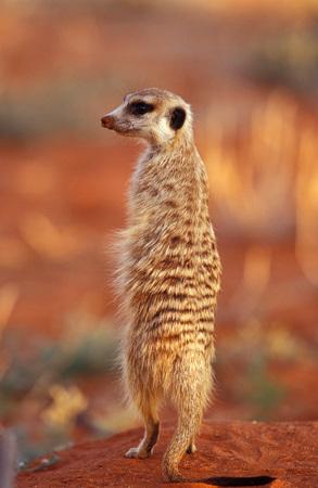 Meerkat, Southafrica