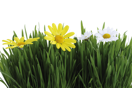 Green Gras And White And Yellow Marguerites LANG_EVOIMAGES