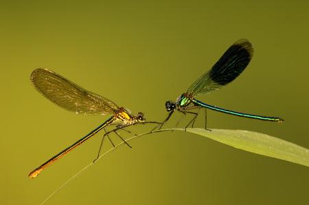 Two Dragonflies On A Leaf, Calopteryx Splendens