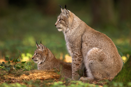 Two Lynxes In The Forest