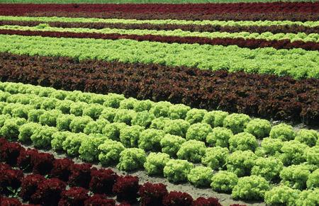constant: Lettuce Field LANG_EVOIMAGES