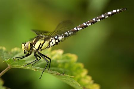 Dragonfly, Aeshna Cyanae, On Leaf, Close-Up