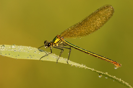 Female Dragonfly, Aeshna Cyanae LANG_EVOIMAGES