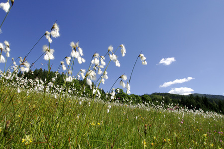 Wollgras On A Meadow In Salzburger Country, Austria