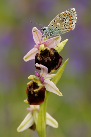 Butterfly, Polymmatus Icarus, Sitting On A Bee Orchis
