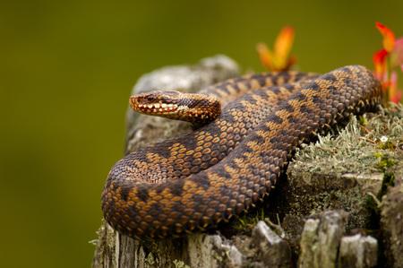 Adder, Common Viper, Vipera Berus