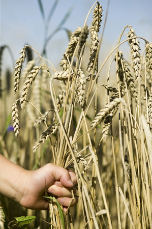 conquering adversity: Child Picking Ear Of Wheat