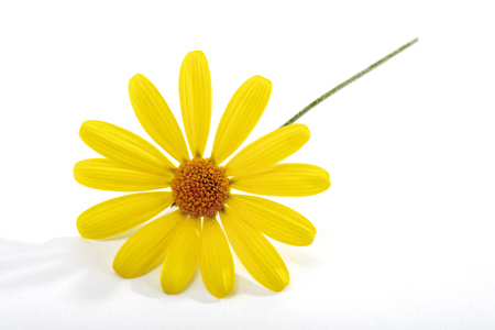 Yellow Marguerite LANG_EVOIMAGES