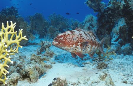 Red Sea Coral Grouper, Plectropomus Pessuliferus Marisrubri