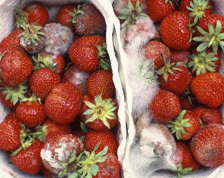 Fresh Strawberries, Close Up