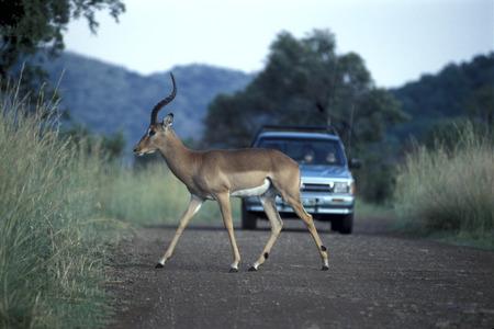 Antelope Crossing Street,Krueger National Park, South Africa, Africa