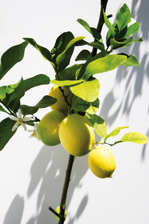 citrons: Lemon Tree,Close-Up