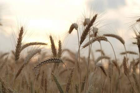 gloaming: Rye In Sunset Light LANG_EVOIMAGES