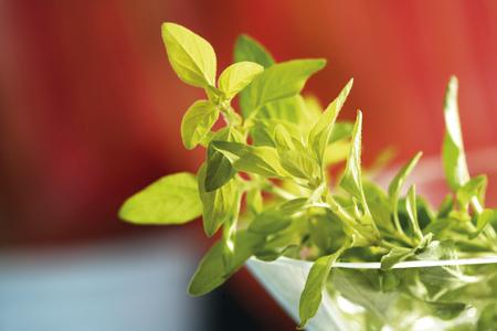 Wild Marjoram, Gold Oregano, Oreganum Vulgare
