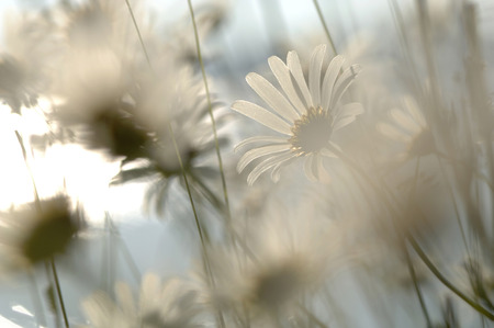 Marguerites, Leucanthemum Vulgare, Close-Up