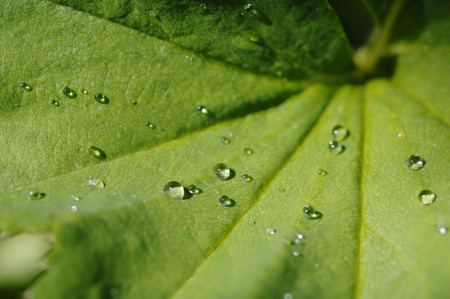 alchemilla: Water Drops On Ladyâ´S-Mantle Leaf, Close-Up LANG_EVOIMAGES