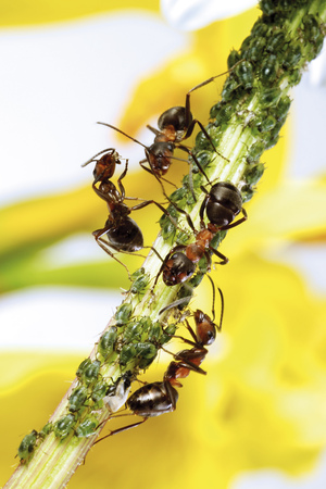 Red Ants On Stem With Aphids LANG_EVOIMAGES