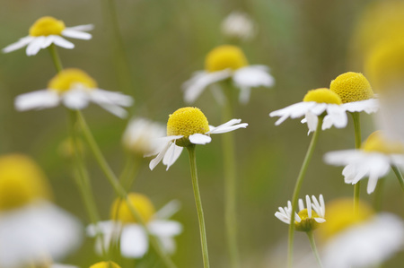 remedial: Chamomile, Close-Up LANG_EVOIMAGES