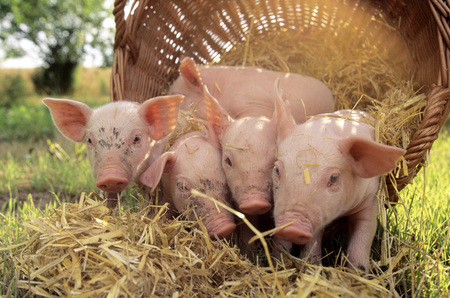 Pigs With Basket In Field, Close-Up LANG_EVOIMAGES