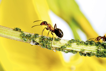 formica: Red Ants On Stem With Aphids LANG_EVOIMAGES