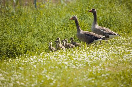 Geese In Meadow LANG_EVOIMAGES
