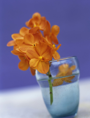 Orange Orchid In Glass, Close-Up