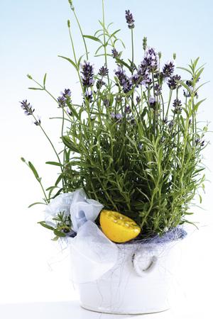citrons: Lavendel Lavandula Angustifolia