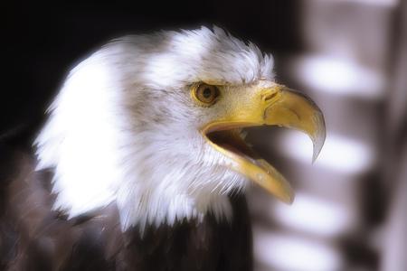 Germany, Hellenthal, Bald Eagle, Close-Up