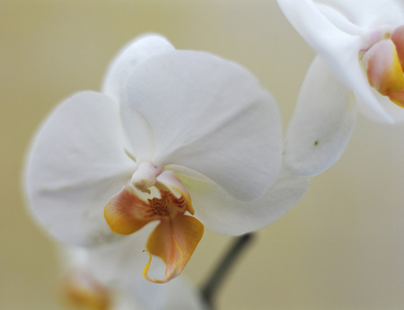 White Orchid, Close-Up LANG_EVOIMAGES