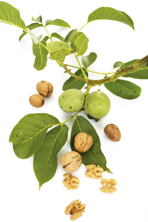 premature: Fresh Walnuts On Twig And Walnuts LANG_EVOIMAGES