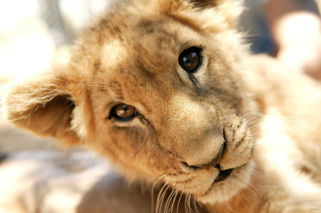 South Africa, Young Lion In Aquila Private Game Reserve