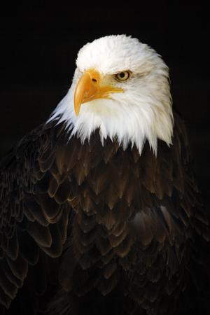 Alemania, hellenthal, águila calva, primer plano