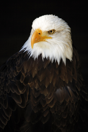 Germany, Hellenthal, Bald Eagle, Close-Up