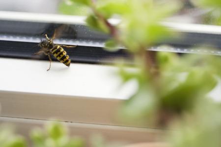 Wasp At Window