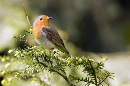 erithacus rubecula: Robin Perched On Branch (Erithacus Rubecula), Close-Up