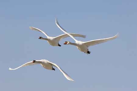 devote: Flying Mute Swans