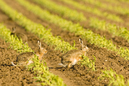 Hares In Field